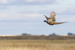 Flying Pheasant stock images