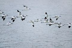 Flying Pied Avocet Stock Photos