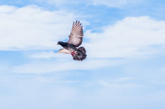 Flying Pigeon Stock Images