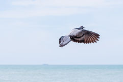 Flying Pigeon. View of a pigeon flying in the sky Royalty Free Stock Photography