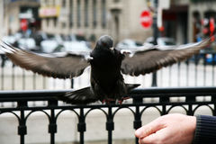 Flying pigeon Stock Photo