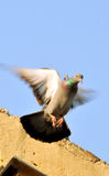 Flying pigeon. Looking great in sunny day Stock Images