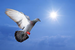 Flying pigeon Royalty Free Stock Image
