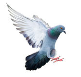 Flying pigeon bird in action isolated Royalty Free Stock Photos