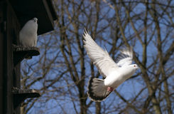 Flying pigeon, dove. A flying white pigeon, dove, blue sky Stock Photo