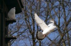 Flying pigeon, dove Stock Photo
