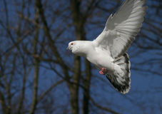 Flying pigeon, dove. A flying white pigeon, dove, blue sky Stock Photography