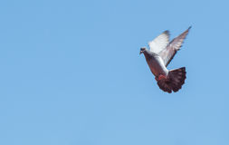 Flying pigeon Royalty Free Stock Photos