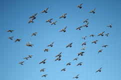 Flying Pigeon Formation on a Clear Blue Sky Stock Images