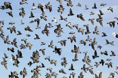 Flying pigeon Royalty Free Stock Images