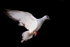 Flying pigeon isolated on black Royalty Free Stock Image