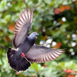 Flying pigeon Royalty Free Stock Photography