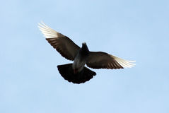 Flying pigeon Stock Photos