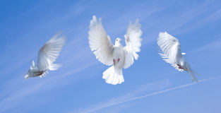 Flying pigeons. Closeup of three pigeons flying with blue sky background Royalty Free Stock Photography