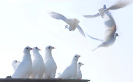 Flying pigeons. Closeup of white pigeons perching and flying in sky Stock Photo