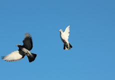 Flying pigeons. Closeup of two flying pigeons with blue sky background Royalty Free Stock Images