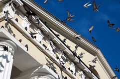 Flying pigeons. Pigeons on church and flying pigeons on city sky background Stock Images