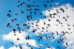 Flying pigeons. Many flying pigeons on sky background Stock Photos