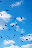 Flying pigeons Royalty Free Stock Photos