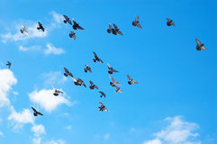 Flying pigeons. Many flying pigeons on sky background Royalty Free Stock Photos