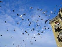 Flying Pigeons. Flock of Pigeons stock image