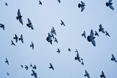Flying pigeons against blue sky Stock Image