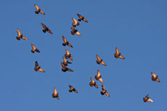 Flying pigeons in the blue sky Stock Photography