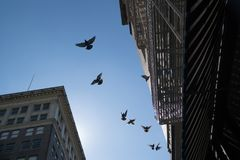 Flying pigeons and buildings rising overhead against a blue sky. A flock of pigeons flying over head with old buildings with fire escapes rising above against a Stock Image