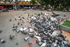 Flying pigeons in Chiangmai Thailand Stock Photo
