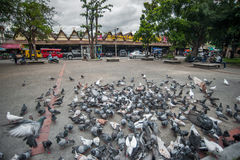 Flying pigeons in Chiangmai Thailand Royalty Free Stock Images