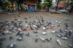 Flying pigeons in Chiangmai Thailand Royalty Free Stock Photos