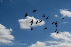 Flying Pigeons in a Cloudscape. A flock of pigeons silhouetted against cumulus clouds as they fly in a blue Florida sky royalty free stock photos
