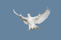 Flying Pigeons Stock Photography