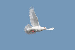 Flying Pigeons Royalty Free Stock Image