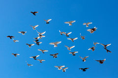 Flying pigeons Royalty Free Stock Photo