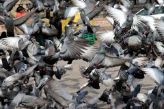 Flying pigeons in group stock photography