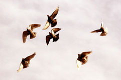 Flying pigeons. A group of pigeons flying in the sky stock photo
