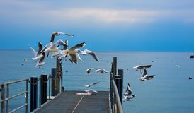 Flying Pigeons - Lake Leman, Lausanne. Flying Pigeons on the Lake Leman coast in Lausanne.  Calm before the storm royalty free stock photography