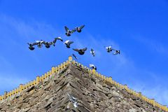 Flying pigeons leading a carefree life Stock Photography