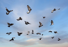 Flying pigeons. Pigeons flying. Many birds against morning cloudy sky Royalty Free Stock Images