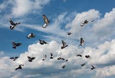 Flying pigeons Stock Photo