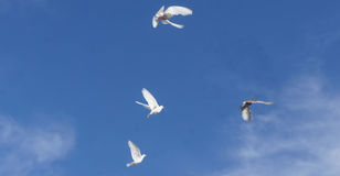 Flying pigeons. A picture of white flying pigeons in a blue sky, in a summer day of july,in a greek town Moudania Stock Photography