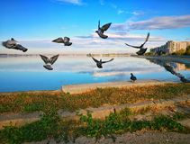Pigeons on the shore of the lake sunny morning royalty free stock image