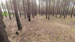 Flying between the pine trees. Aerial shot: Flying between the pine trees stock video footage
