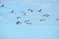 Flying pink flamingo flock Stock Photos
