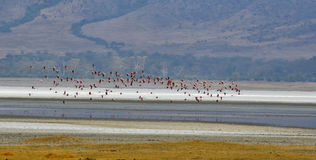 Flying Pink Flamingos Royalty Free Stock Photography