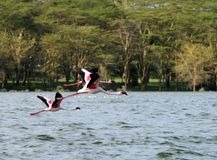 Flying pink Flamingos Stock Photo