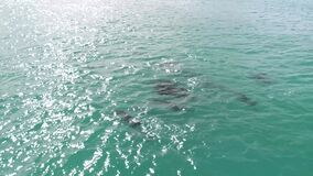 Flying POV, Dolphins in open water at Honolulu, Hawaii, in aquamarine water _