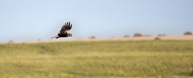 Flying predator. A predator flying over the plains in search of a victim Royalty Free Stock Photo