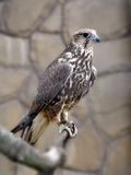 Flying predator. A falcon sits on a branch in an open-air cage Stock Images